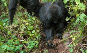 Due giovani gorilla smantellano le trappole messe dai bracconieri che hanno ucciso il loro amico
