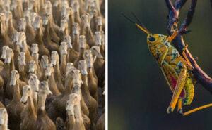La Cina prepara un esercito di 100.000 anatre per combattere l'invasione di locuste