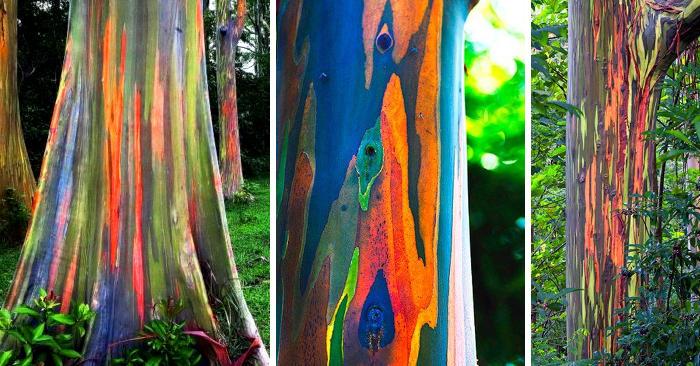 L'Eucalypto arcobaleno, l'albero più colorato del mondo