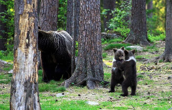 Tre cuccioli di orso fanno il girotondo Valtteri Mulkahainen