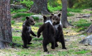 Fotografo cattura tre adorabili cuccioli di orso che fanno il girotondo