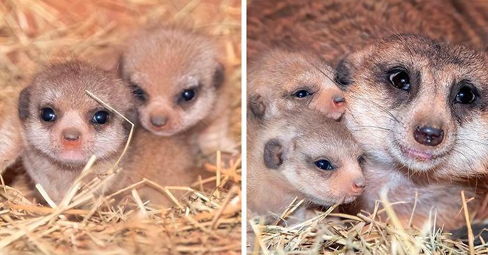 Le foto degli adorabili cuccioli di suricato nati nello zoo di Miami