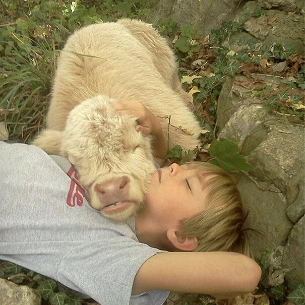 Mucche come animali domestici