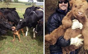 30 adorabili foto di mucche che sembrano cani, solo di taglia più grande