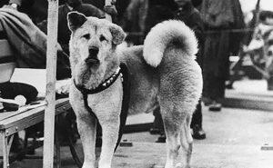 Foto rare e commoventi di Hachiko, il cane più fedele del mondo