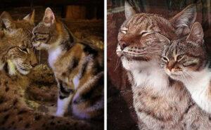Gatto si intrufola in uno zoo e diventa amico di una lince