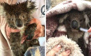 Decine di koala uccisi sui loro alberi dalle ruspe per il legname in Australia