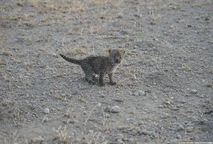 Leonessa allatta cucciolo di leopardo Tanzania