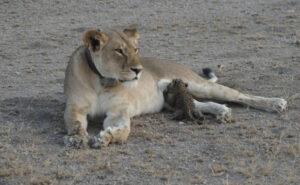 Le straordinarie immagini di una leonessa che allatta un cucciolo di leopardo