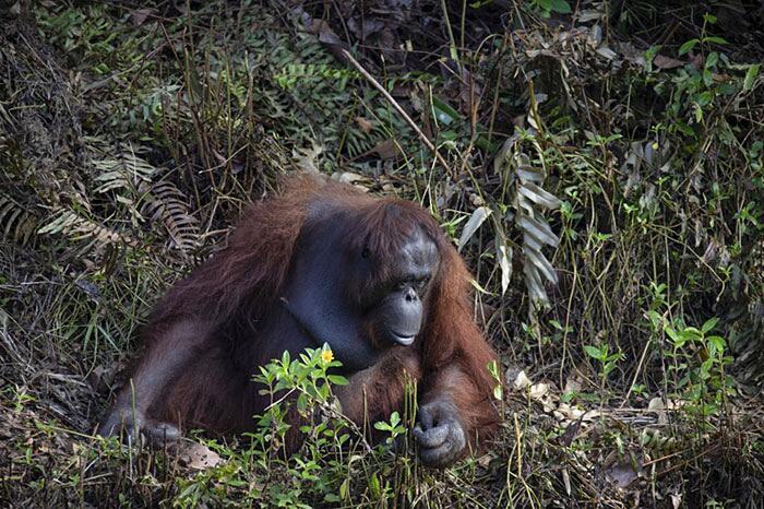 Orango tende la mano ad un uomo nell'acqua Borneo