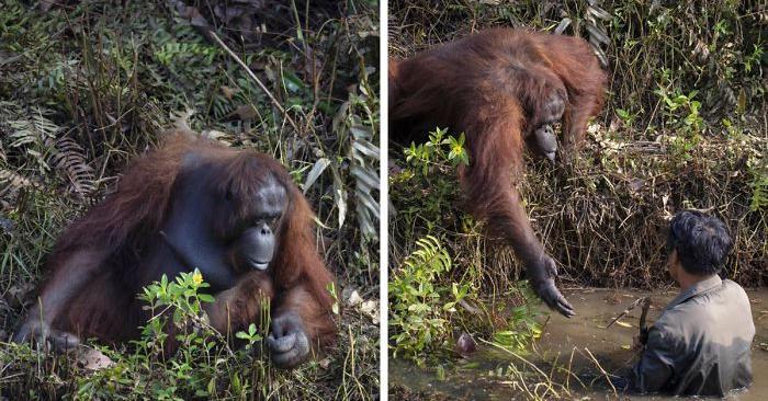 Fotografo cattura il momento in cui un orango tende la mano ad un uomo in acqua per aiutarlo