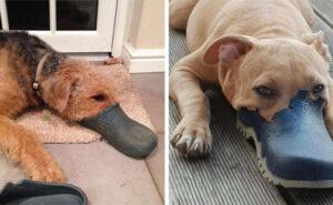 30 immagini del canetorinco, la nuova razza di cane che spopola su internet