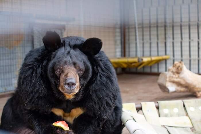 Questo simpatico orso pesa il doppio del normale e odia la sua dieta