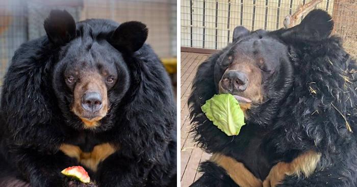 Nello zoo in cui viveva è diventato obeso, ma ora l'orso Dillon odia la sua dieta