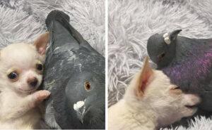 L'amicizia tra il piccione che non può volare e il chihuahua che non può camminare