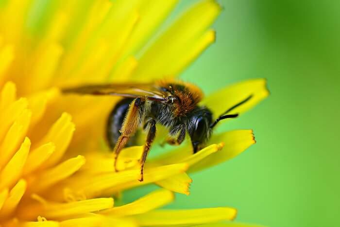 Vuoi salvare le api? Lascia in pace il tarassaco questa primavera