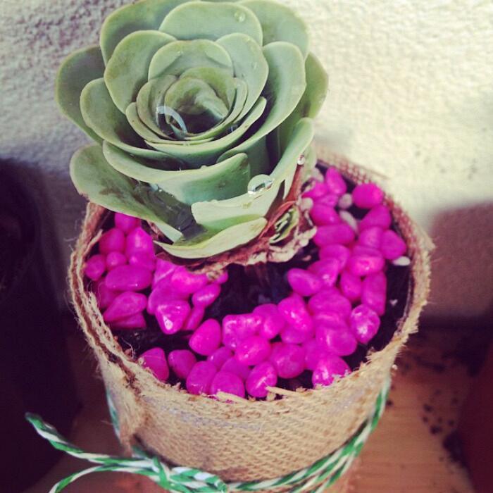 Pianta grassa sembra rosa Greenovia Dodrentalis
