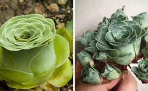 Greenovia Dodrentalis, la pianta grassa a forma di rosa
