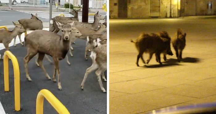 Gli animali invadono le città durante la quarantena degli abitanti