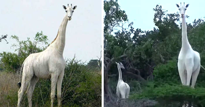 Bracconieri uccidono l'unica giraffa bianca femmina al mondo e il suo cucciolo in Kenya