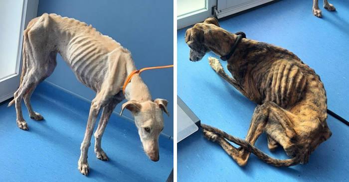 Trovati due levrieri in stato di grave malnutrizione, abbandonati dopo la stagione di caccia