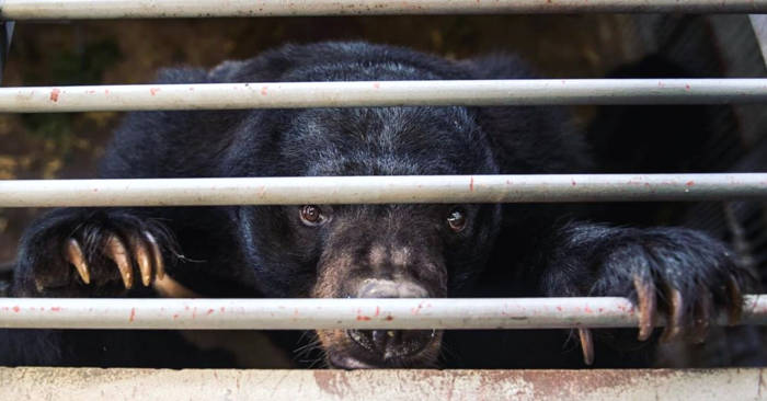 La Cina consiglia la bile di orso contro il coronavirus