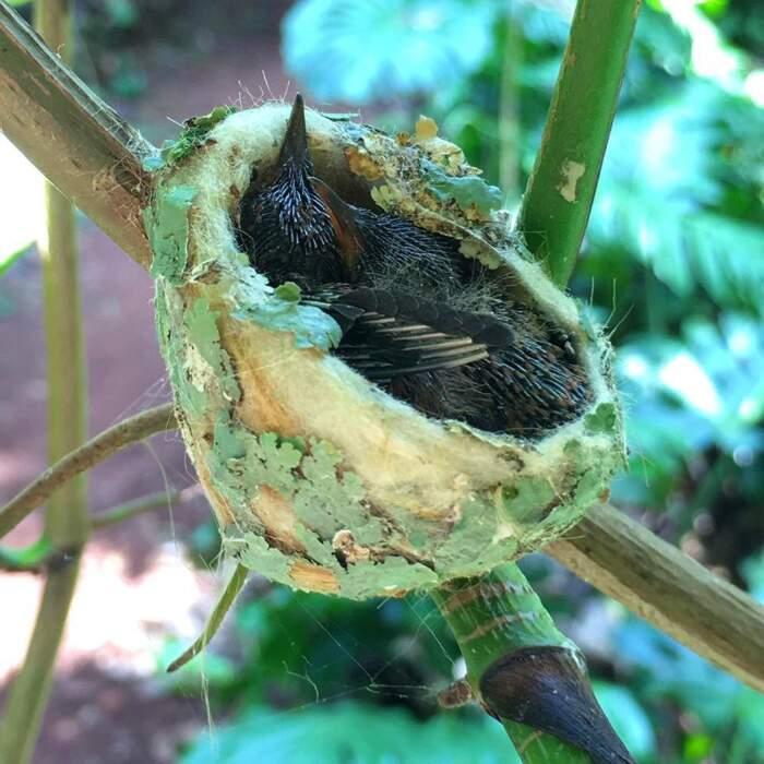Colibrì costruisce un nido con il tetto