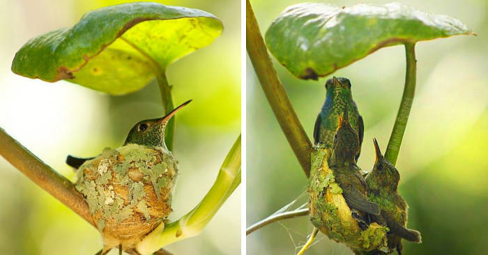 Mamma colibrì costruisce un nido con il tetto per proteggere meglio i suoi pulcini