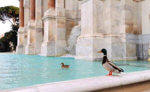 Roma è deserta e le anatre sguazzano nel fontanone del Gianicolo