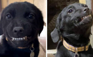 """Cucciolo di labrador """"sorride"""" a tutti i visitatori del canile per trovare una famiglia"""