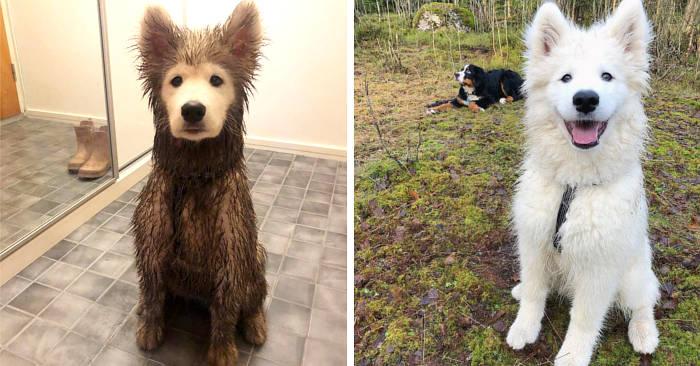 Cucciolo di samoiedo gioca nel fango ma la faccia resta perfettamente pulita