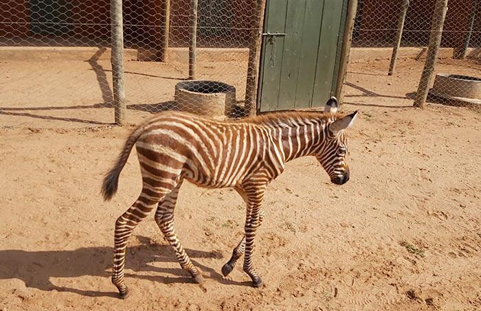 Cucciolo di zebra Sheldrick Wildlife Trust Kenya
