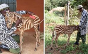Operatori della Sheldrick Wildlife Trust indossano camici speciali per occuparsi dei cuccioli di zebra