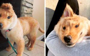 """Lo chiamano """"cane unicorno"""", un cucciolo di golden retriever con un orecchio in mezzo alla testa"""