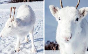 Fotografa un rarissimo cucciolo di renna bianca mentre fa un'escursione in Norvegia (6 foto)