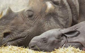Il primo cucciolo di rinoceronte nato in questo zoo è femmina e ama i sonnellini