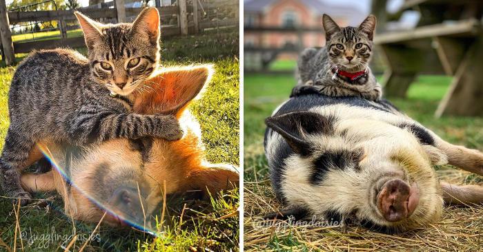 Questo gatto vive in una fattoria e non riesce a smettere di massaggiare tutti gli altri animali