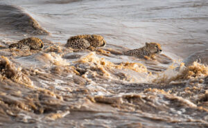 Le incredibili immagini di 5 ghepardi che attraversano un fiume infestato da coccodrilli