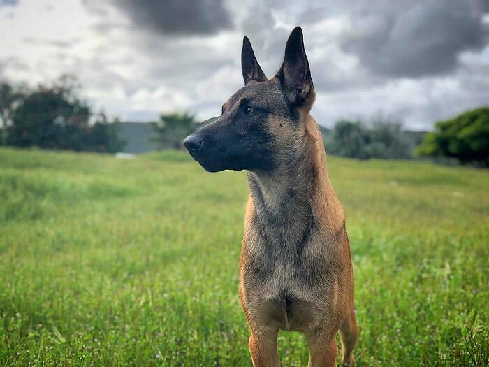 Pastori Belga Malinois video