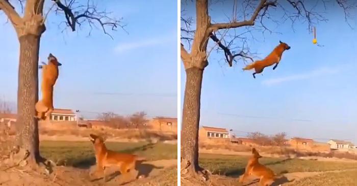 Due incredibili pastori belga corrono e saltano da un albero per prendere una palla appesa a un ramo