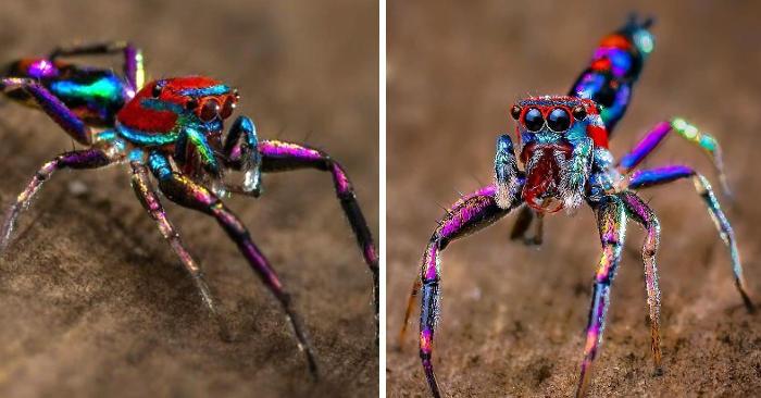 Fotografo indiano realizza bellissime foto di ragni colorati e affascinanti insetti