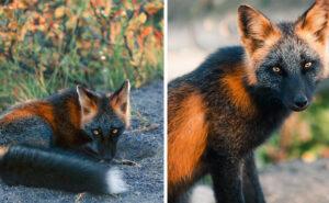Cattura con la sua macchina fotografica una bellissima volpe crociata
