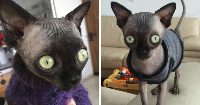 Gattina sphynx sembra un piccolo pipistrello a causa di un disturbo neurologico