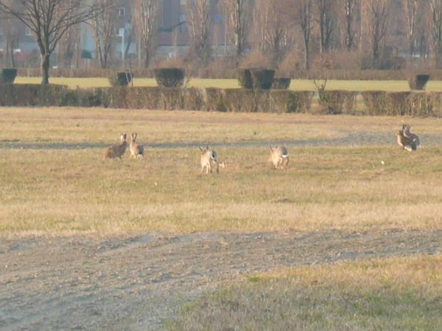 Le lepri si riprendono i parchi di Milano deserta