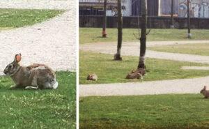 Le lepri si riprendono i parchi di Milano deserta: le straordinarie immagini