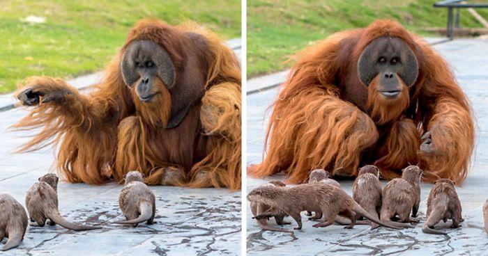 Oranghi e lontre diventano amici e giocano a nascondino in uno zoo del Belgio