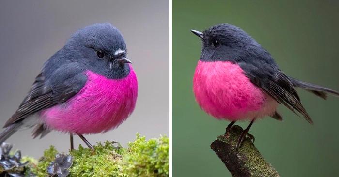 Vi presentiamo la Petroica rodinogaster, un bellissimo uccellino panciuto dal petto rosa