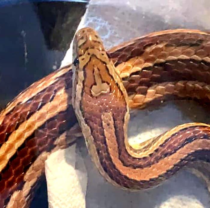 serpente del pene