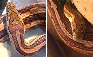 """Serpente domestico viene chiamato """"Testa Di C*zzo"""" per il segno inequivocabile sulla sua testa"""