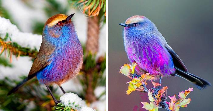 La silvicincia dai sopraccigli, un uccellino da fiaba che sembra venire dal paradiso